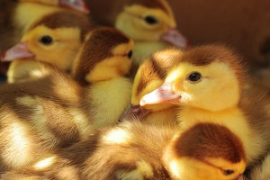ducklings-984298_1920